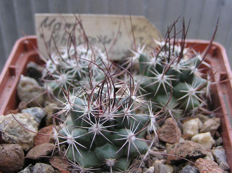 Cactus under carbonate 6 M_john11
