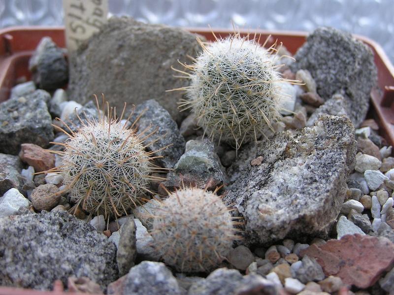 Cactus under carbonate 9 M_maga10