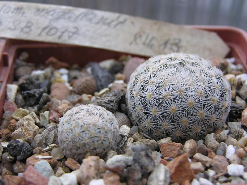 Cactus under carbonate 9 M_maga12