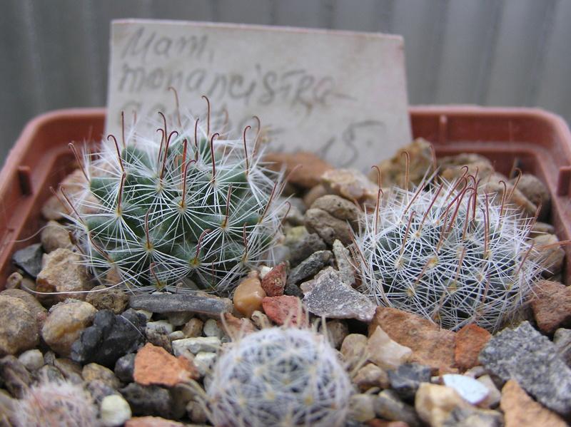 Cactus under carbonate 6 M_mona10