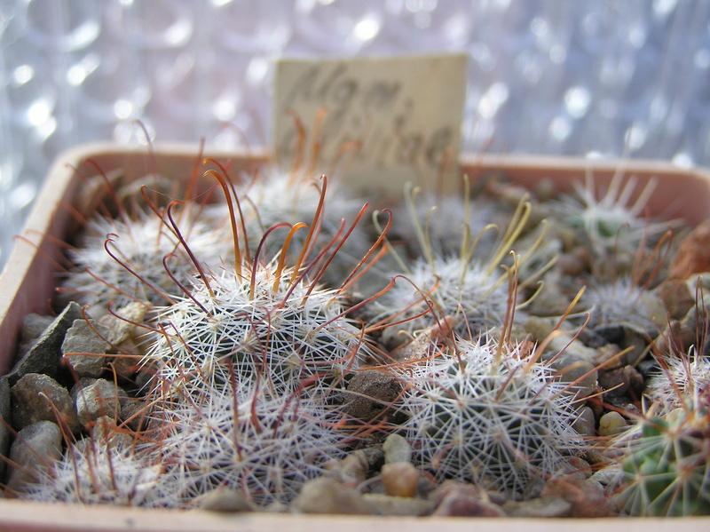 Cactus under carbonate 10 M_oliv10