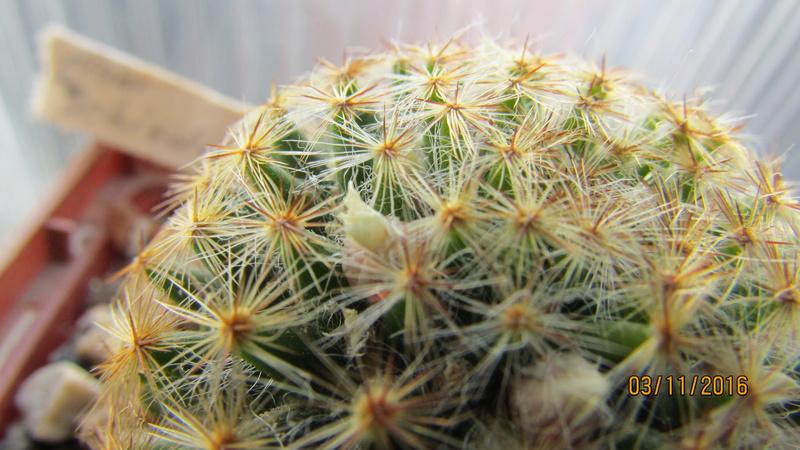Cactus under carbonate 7 M_schi10