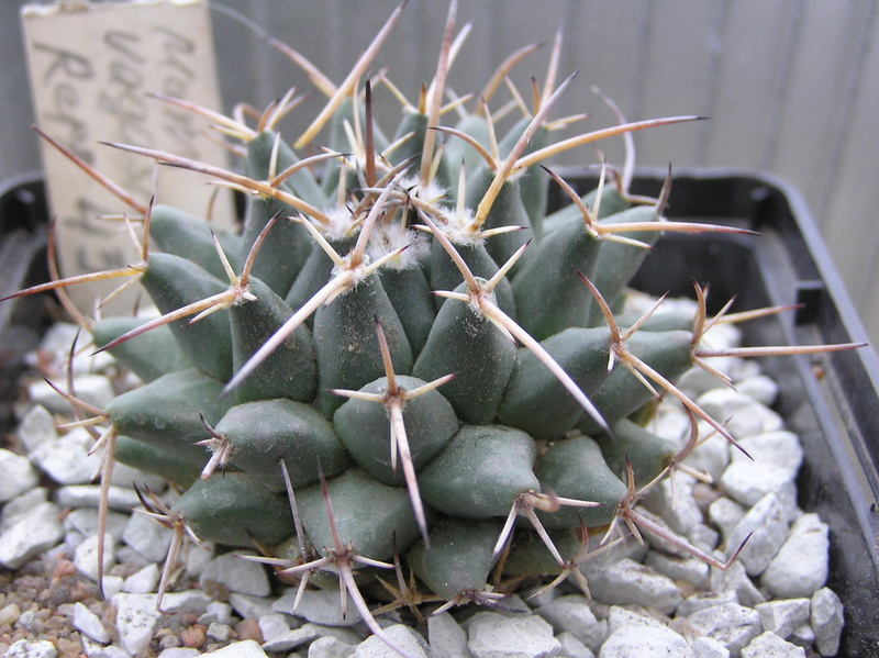 Cactus under carbonate 10 M_vaga11