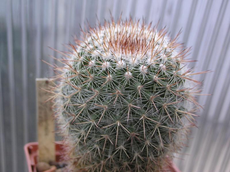Cactus under carbonate 12 M_vari14