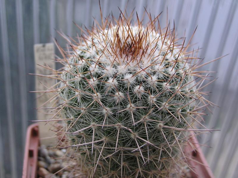 Cactus under carbonate 12 M_vari15
