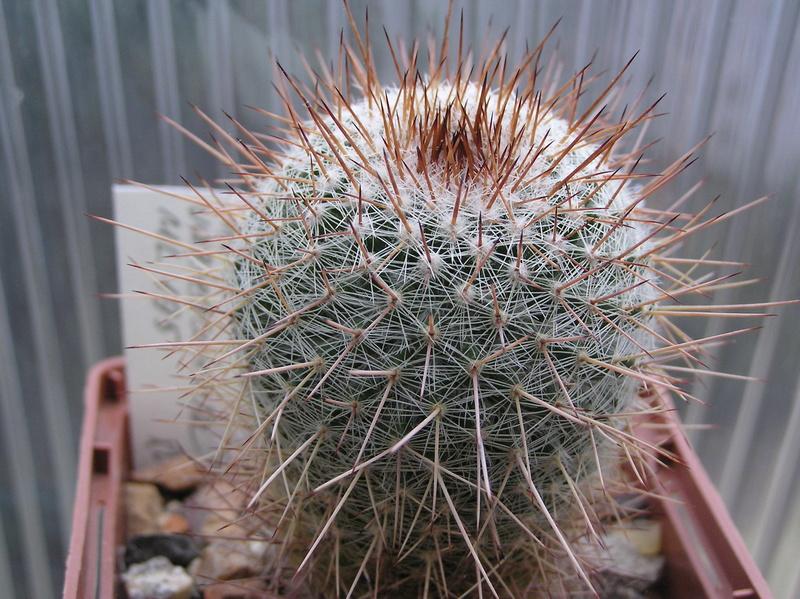 Cactus under carbonate 12 M_vari16