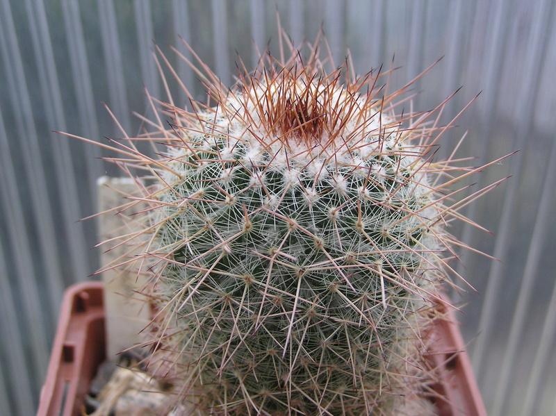 Cactus under carbonate 12 M_vari17