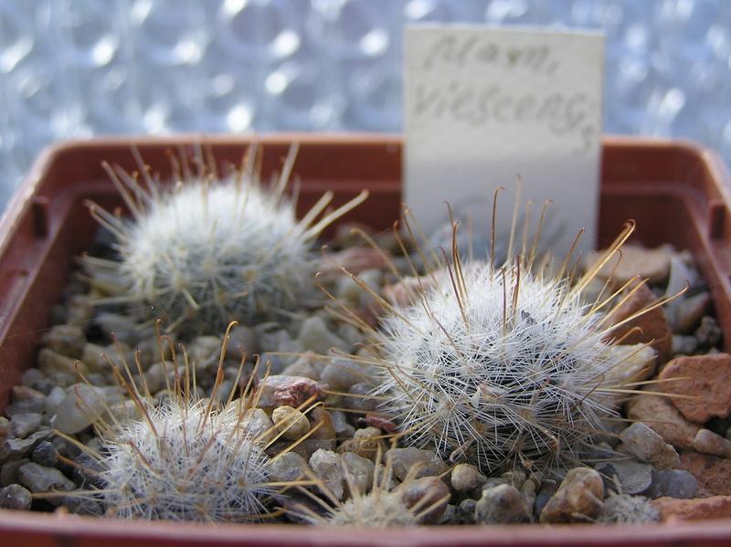 Cactus under carbonate 10 M_vies10