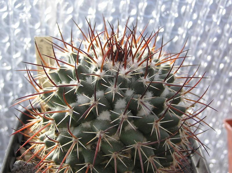 Cactus under carbonate 10 M_wagn13