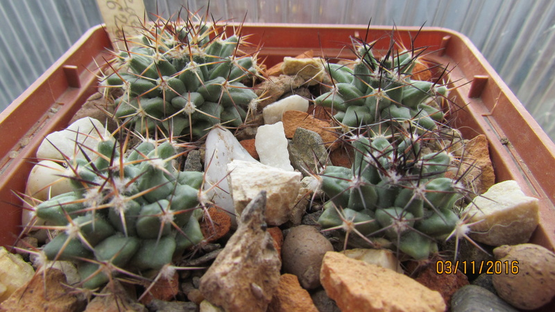 Cactus under carbonate 5 M_wint13