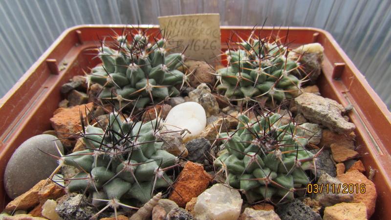 Cactus under carbonate 5 M_wint14