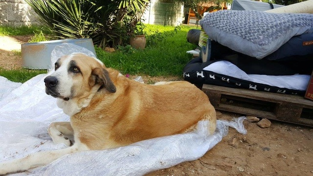Canis Thor(Gedeeltelijke adoptie) 15384611