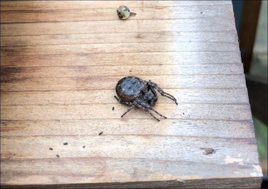 [Nuctenea umbratica, Araneus diadematus] Araignée  de Guénin..... 117