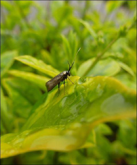Adela reaumurella femelle 1_adel12