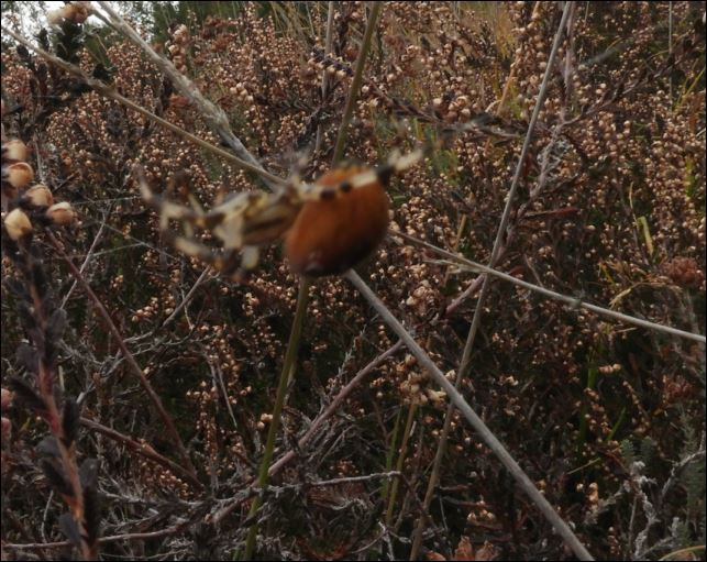 ([Dolomedes sp, Micrommata virescens, Vraisemblablement une Araneus quadratus, Cocon d'Argiope] Araignées des Belans pour identification?? 1_arai11