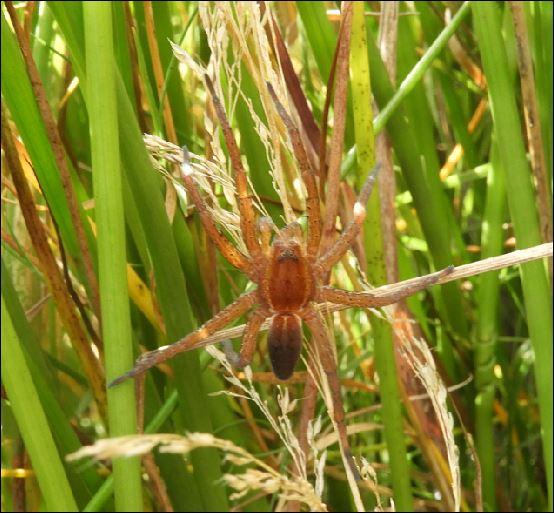 ([Dolomedes sp, Micrommata virescens, Vraisemblablement une Araneus quadratus, Cocon d'Argiope] Araignées des Belans pour identification?? 1_aren11