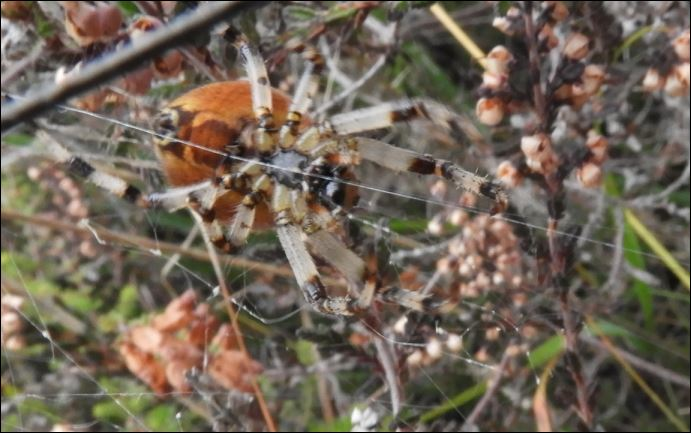 ([Dolomedes sp, Micrommata virescens, Vraisemblablement une Araneus quadratus, Cocon d'Argiope] Araignées des Belans pour identification?? 1_aren13