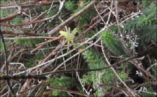 ([Dolomedes sp, Micrommata virescens, Vraisemblablement une Araneus quadratus, Cocon d'Argiope] Araignées des Belans pour identification?? 1_aren14