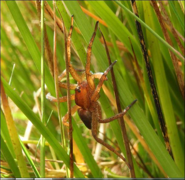 ([Dolomedes sp, Micrommata virescens, Vraisemblablement une Araneus quadratus, Cocon d'Argiope] Araignées des Belans pour identification?? 1_aren17