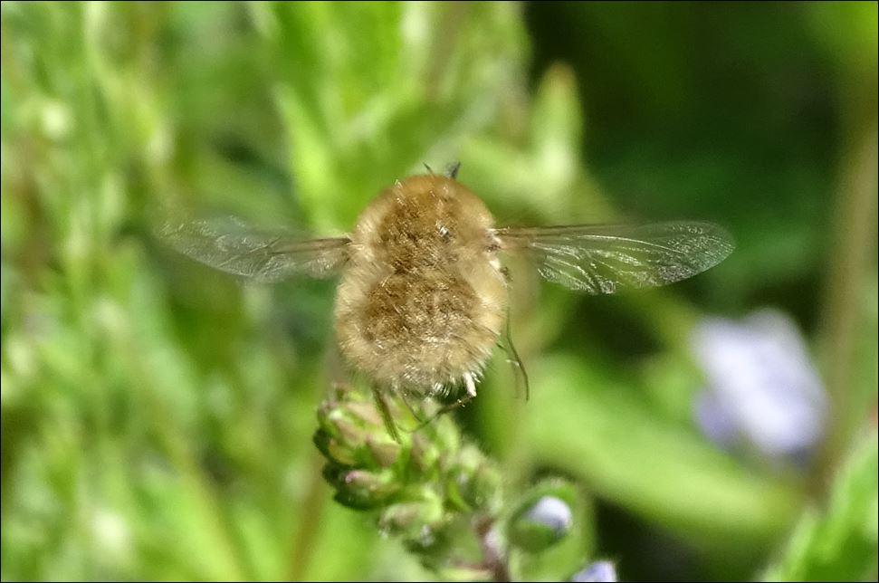 [Bombylius sp] Bombyliidae...Bombylius major????? 1_bomb11