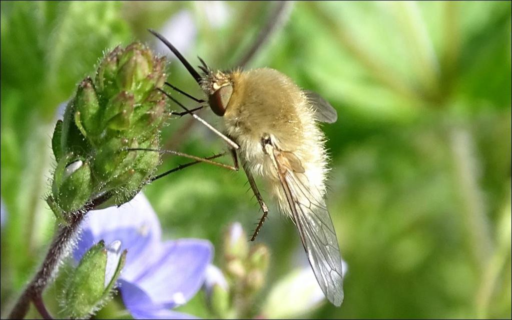 [Bombylius sp] Bombyliidae...Bombylius major????? 1_bomb13