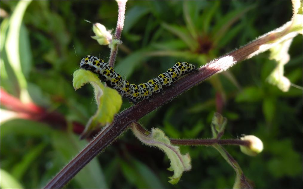 [Cucullia verbasci sur Scrophularia scorodonia] Cucullia verbasci sur scrophularia 1_cucu12