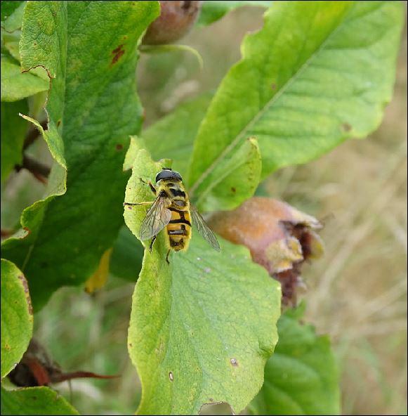 [Myathropa florea] inconnue....Vannes 1_inse13