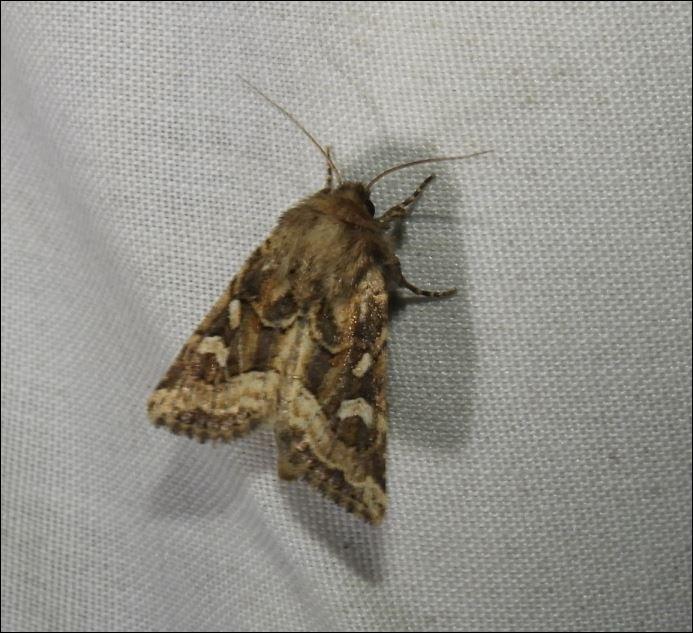 [Ochropleura leucogaster, Tholera decimalis, Luperina dumerilii, Costaconvexa polygrammata, Acrobasis tumidana, Pyrausta aurata] Bindre, Séné 1_lupe11