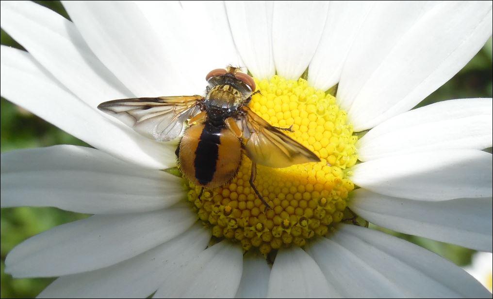 [Ectophasia leucoptera] Peleteria...ou Ectophasia crassipennis..... 1_pele10