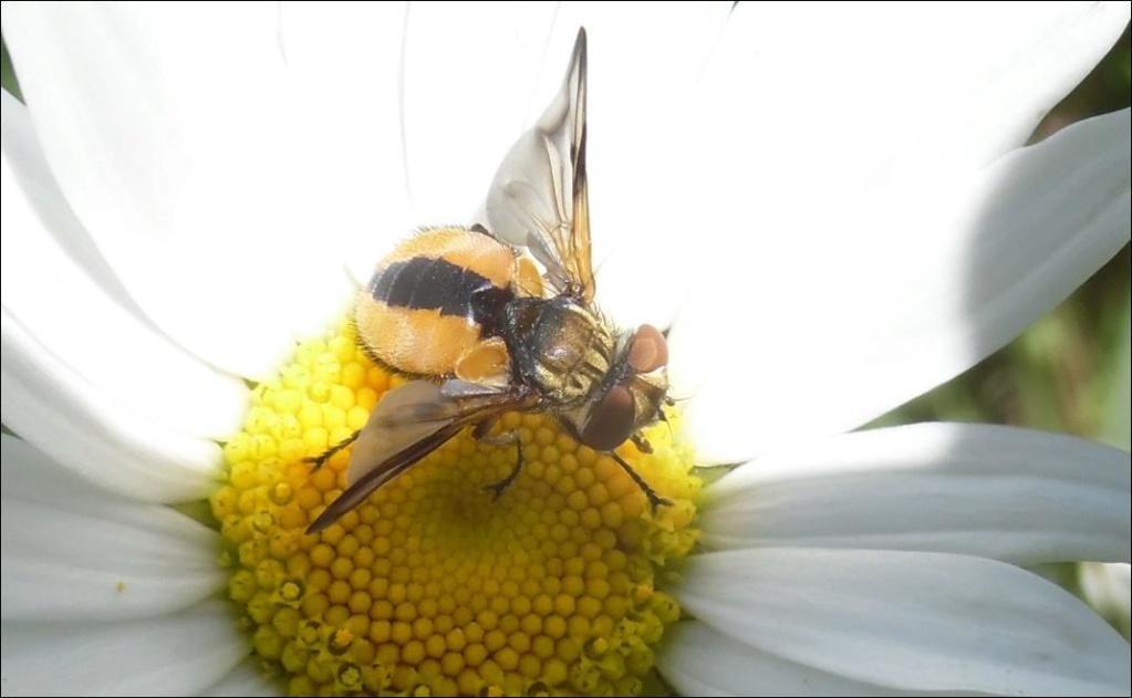 [Ectophasia leucoptera] Peleteria...ou Ectophasia crassipennis..... 1_pele11