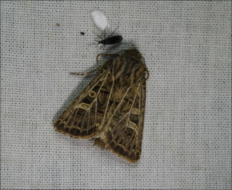 [Ochropleura leucogaster, Tholera decimalis, Luperina dumerilii, Costaconvexa polygrammata, Acrobasis tumidana, Pyrausta aurata] Bindre, Séné 1_thol10