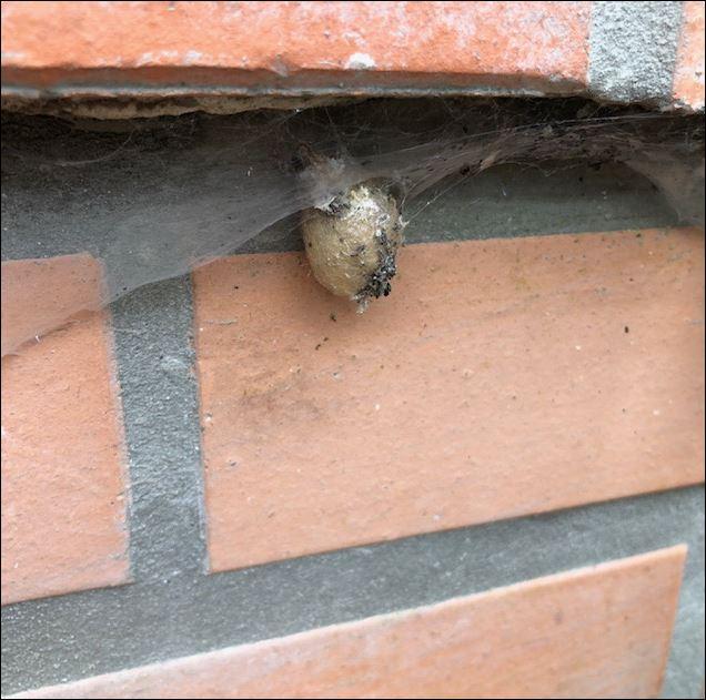 [Nuctenea umbratica, Araneus diadematus] Araignée  de Guénin..... Araign11
