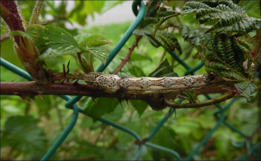 Chenille de Crocallis elinguaria, Crocal10
