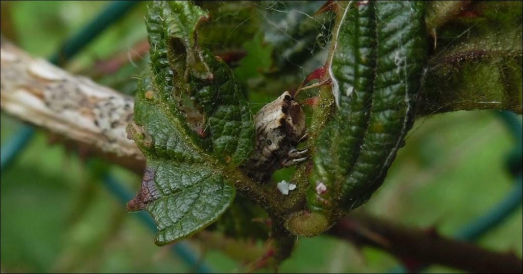 Chenille de Crocallis elinguaria, Crocal12