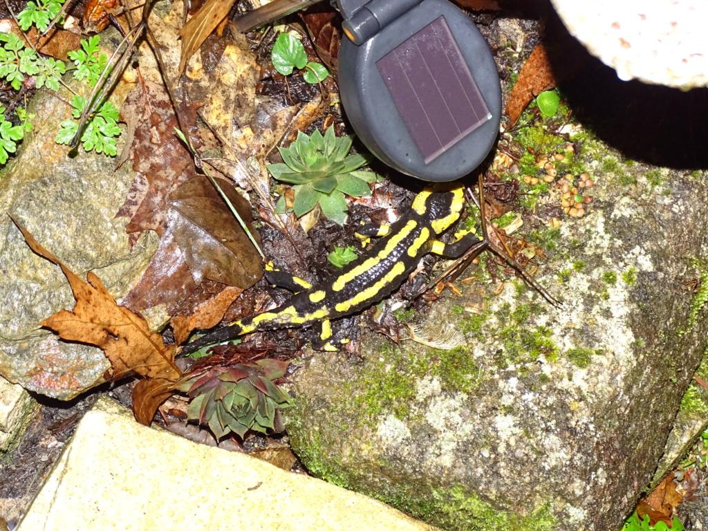 Salamandre Dsc04210