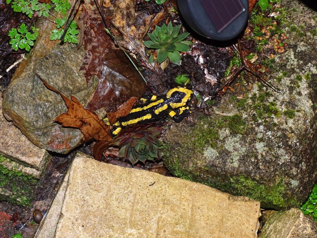 Salamandre Dsc04212