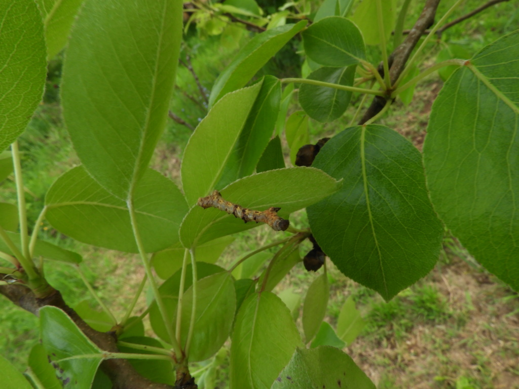 Chenille de Phigalia sur carpinus et Pyrus.... Dscn6015