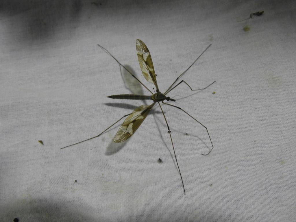 [Tipula maxima] Tipula maxima.... Dscn6111