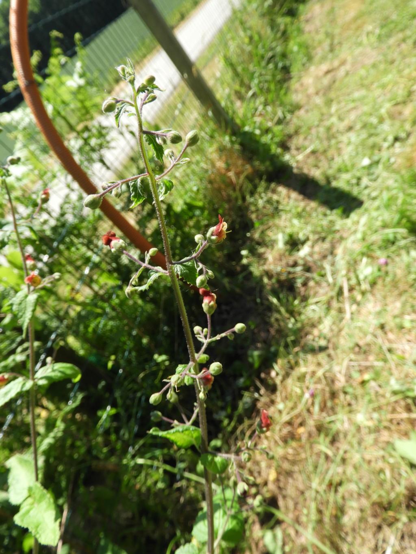 [ Scrophularia scorodonia] peut-être umbrosa (Camors) Dscn6610