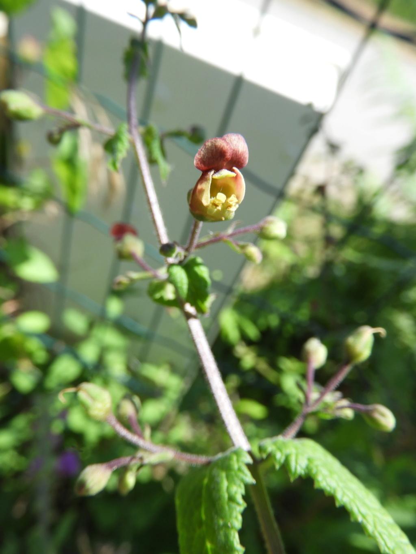 [ Scrophularia scorodonia] peut-être umbrosa (Camors) Dscn6616