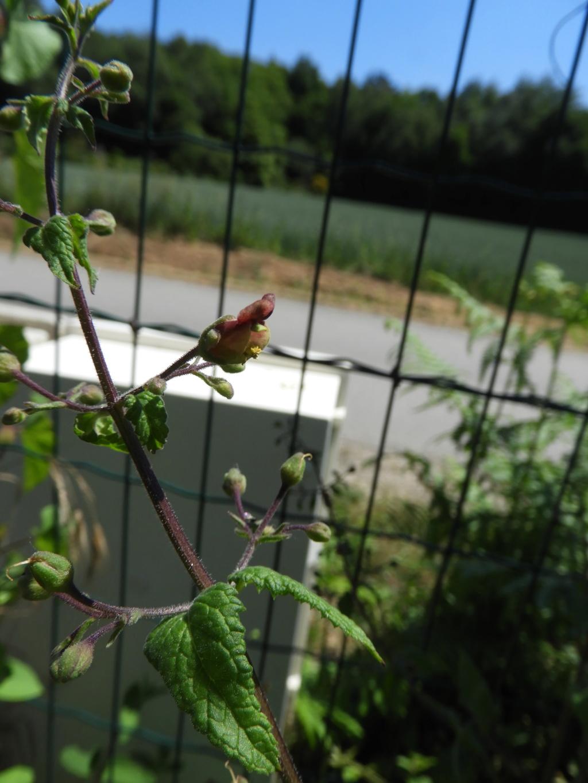 [ Scrophularia scorodonia] peut-être umbrosa (Camors) Dscn6617