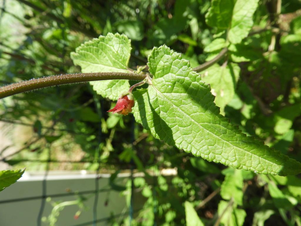 [ Scrophularia scorodonia] peut-être umbrosa (Camors) Dscn6618