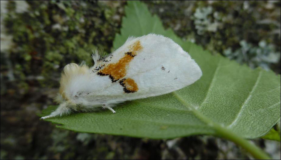 [Leucodonta bicoloria, Lymantria monacha, Erannis defoliaria, Agriopis sp, Ectropis crepuscularia, Cosmia trapezina] Chenilles & Leucodonta bicoloria sur bouleau;  Leucod10