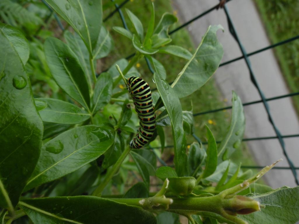 [Chenille de Papilio Machaon sur Oranger du Mexique] Nouvelle plante hote... Sam_6511