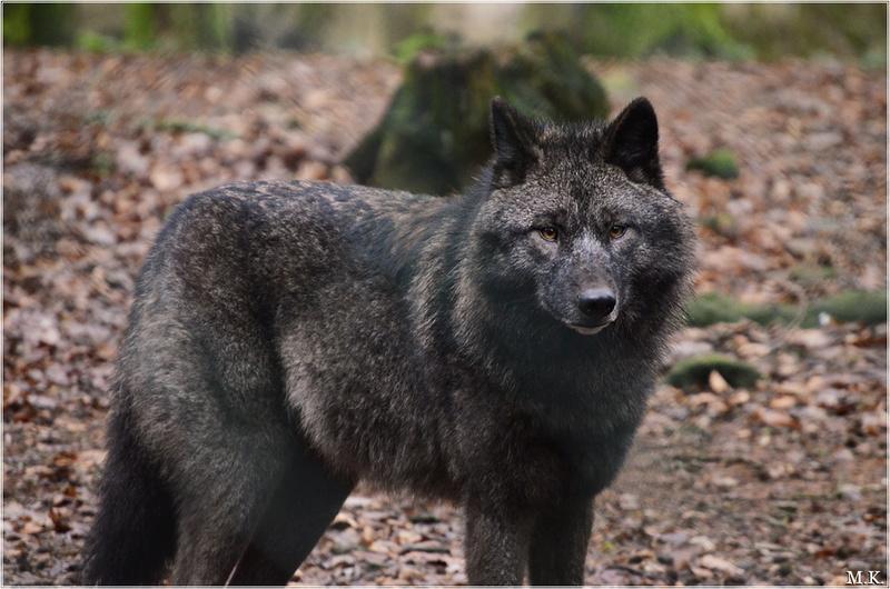 [Fenic x Nero; Pups!] 4/5 OPEN Wolf_e10