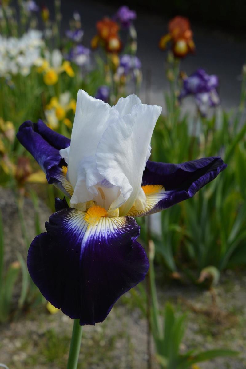 Deux iris Cayeux nominés 110