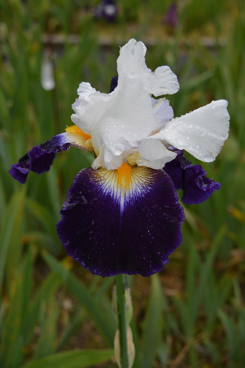 Deux iris Cayeux nominés 210