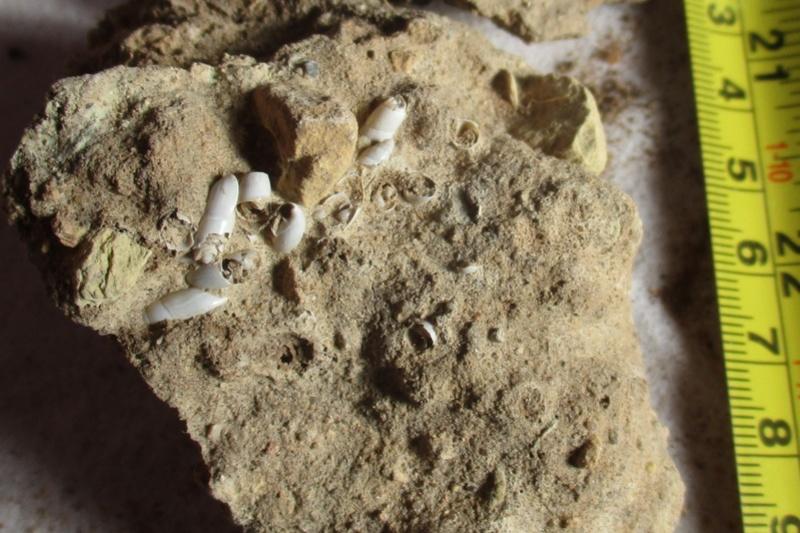 les gastéropodes du quaternaire de l'oued Metlili Laghouat. Gaster10