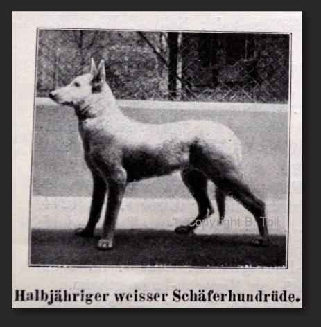 Белая овчарка в Германии с 1879 по 1925 год 3251111