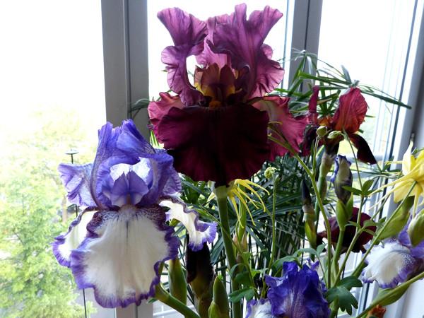 Schwertliliengewächse: Iris, Tigrida, Ixia, Sparaxis, Crocus, Freesia, Montbretie u.v.m. - Seite 14 Blumen11